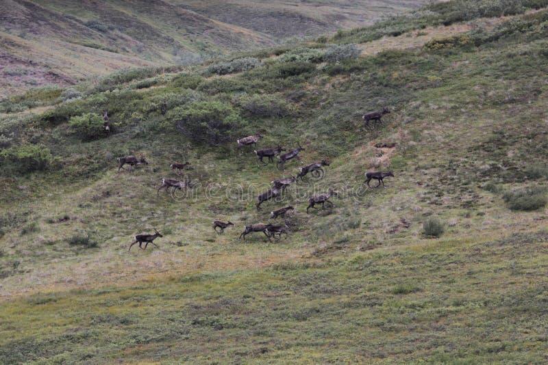 Jeżatki caribou Rangifer tarandus granti obraz stock
