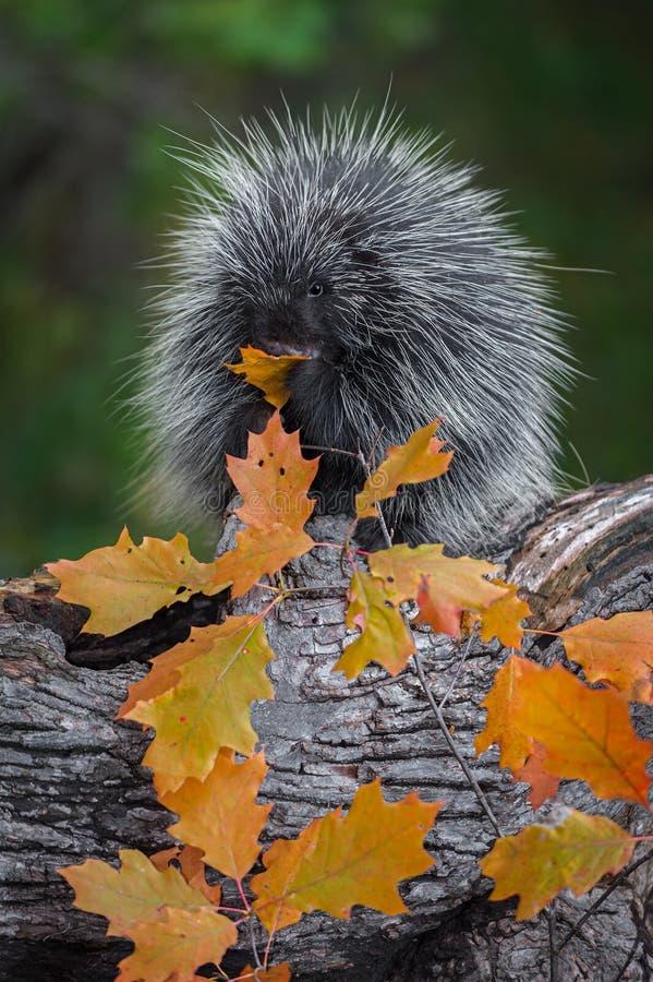 Jeżatki Erethizon dorsatum liść w usta Żuć jesień obraz stock
