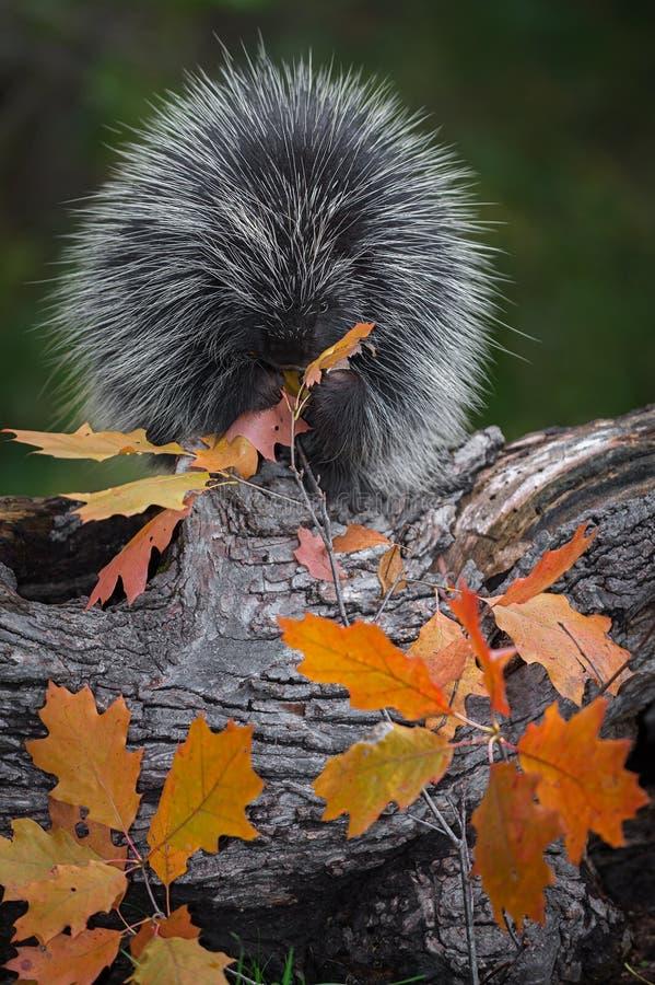 Jeżatki Erethizon dorsatum Siedzi na beli chrupania liści jesieni obraz stock