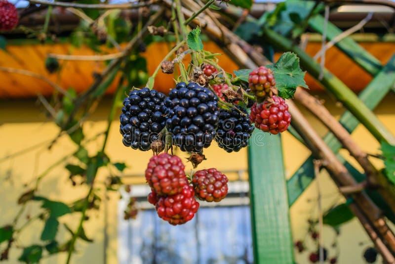 Jeżynowe owoc w ogródzie na lecie fotografia royalty free
