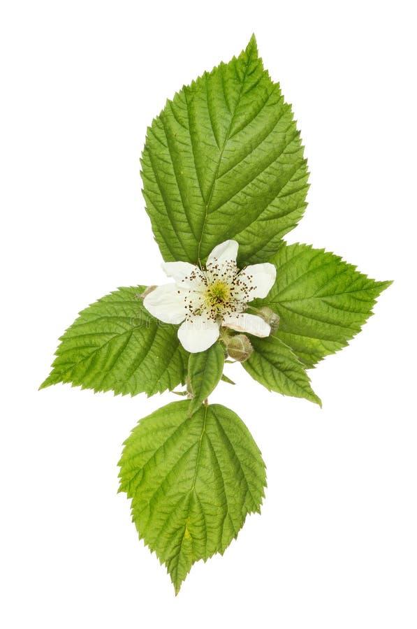 Jeżynowy kwiat obraz stock