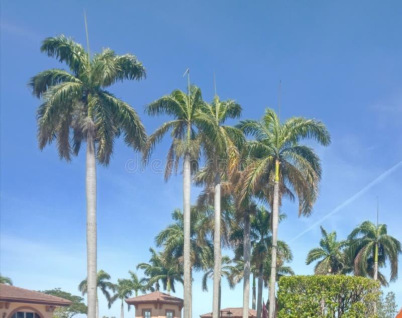 Je me demande un palmier grand avec un ciel bleu photographie stock