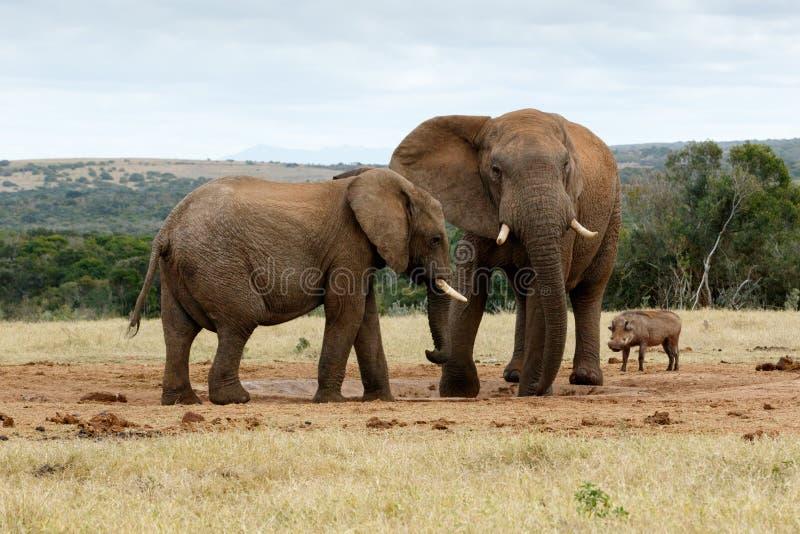 Download Je Vous Ai Dit Qu'aucun C'est Mon Eau - L'éléphant Africain De Bush Photo stock - Image du safari, africain: 77160748