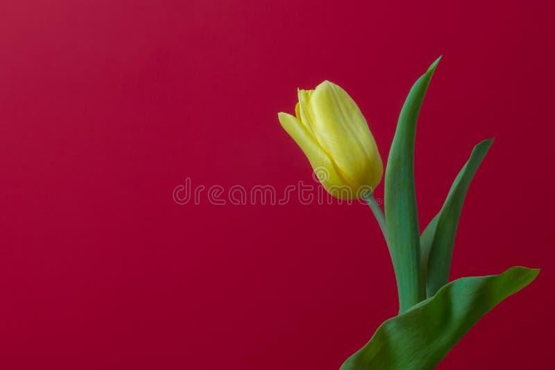 Jeden żółty tulipan na czerwonym tle, miejsce dla kopii przestrzeni zdjęcia stock