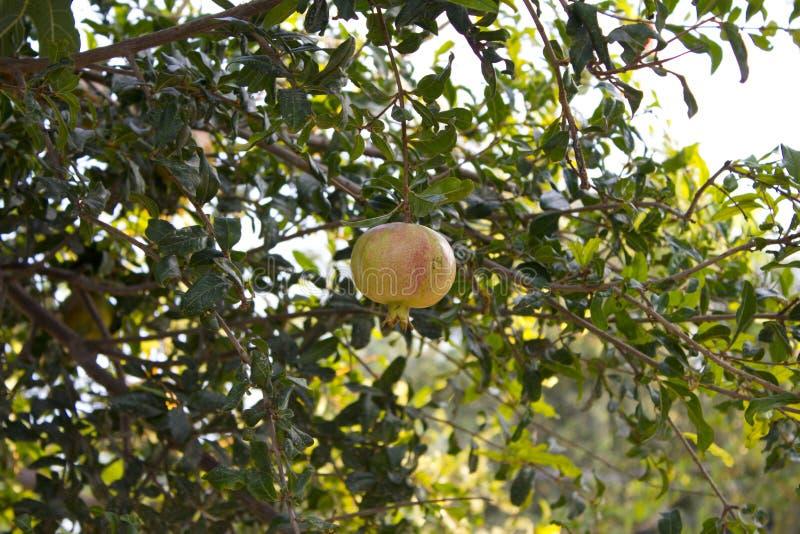 Jeden żółty garnet obwieszenie na gałąź z zielonym ulistnieniem Dojrzały granatowiec r na drzewie Żółty garnet zdjęcia stock