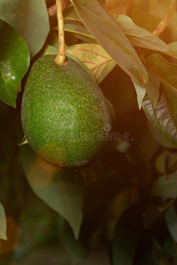 Jeden avocado obwieszenie w rolnictwa gospodarstwie rolnym obrazy stock