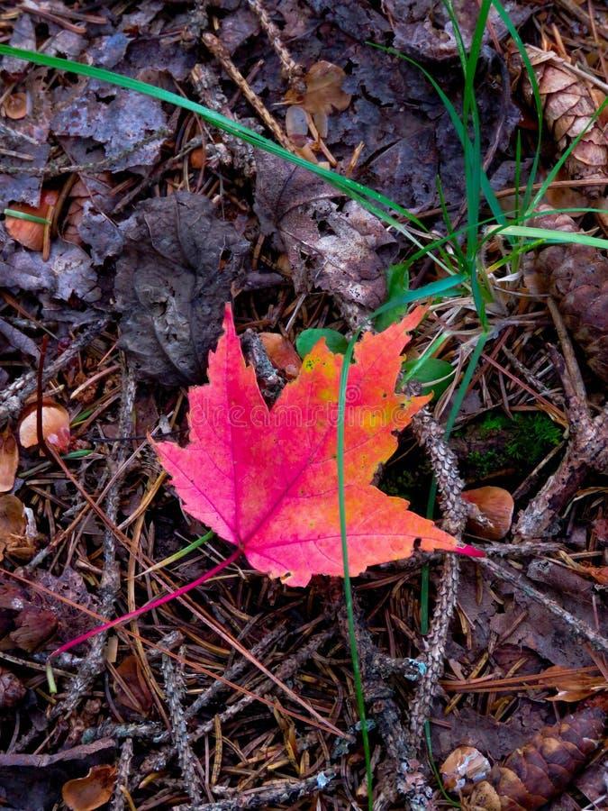 Jeden barwiony liść zdjęcie stock