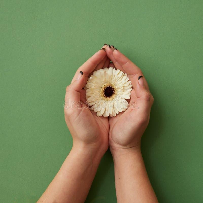 Jeden biały gerbera kwiat w rękach kobieta na zielonego papieru tle obrazy royalty free