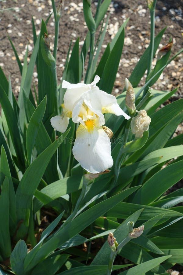 Jeden biały kwiat Niemiecki irys obraz stock