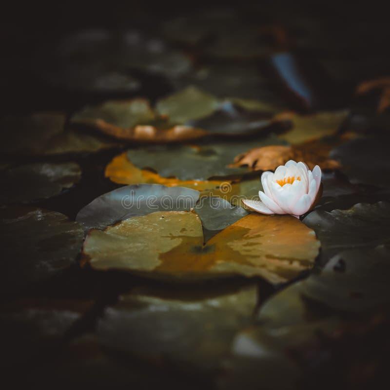 Jeden biały wodnej lelui kwiat w ogródzie, staw z waterlilies zdjęcie stock