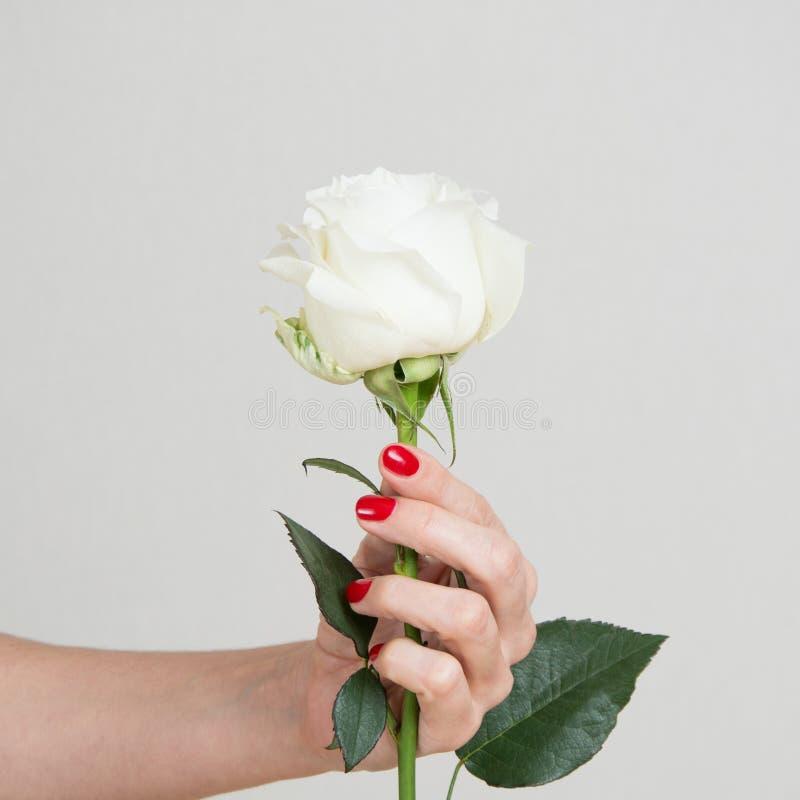 Jeden biel róży kwiat w żeńskiej ręce z bliska obraz royalty free