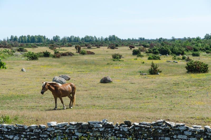 Jeden brązu koń w wielkim prostym terenie Alvaret przy wyspą Oland w Szwecja zdjęcia royalty free