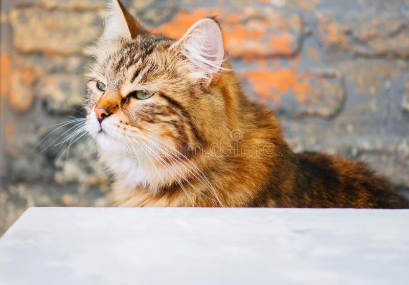Jeden brązu Syberyjski domowy kot z bliska zdjęcie royalty free