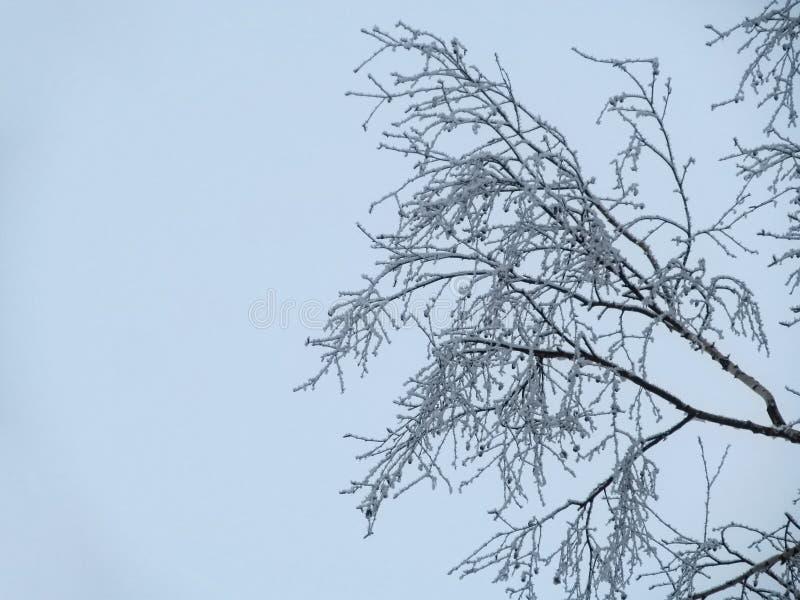 Jeden brzozy gałęziaści składa się ciency trzony zakrywają z hoarfrost przeciw tłu lekki zimy niebo Linie drzewo obraz royalty free