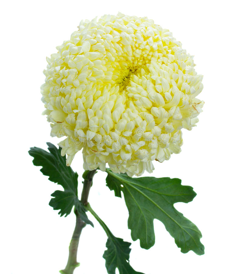 Jeden chryzantema kwiat obraz royalty free
