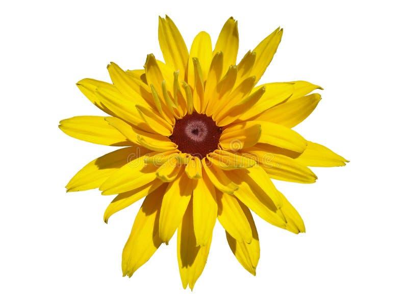 Jeden cutleaf coneflower żółty kwiat odizolowywający na bielu zdjęcia stock