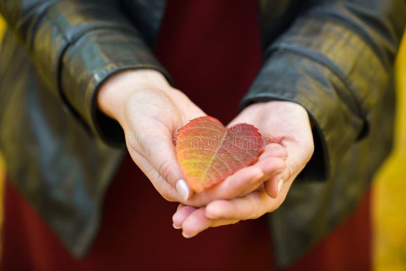 Jeden czerwony jesień liść kłama w palmach dziewczyna Jesień obrazy stock