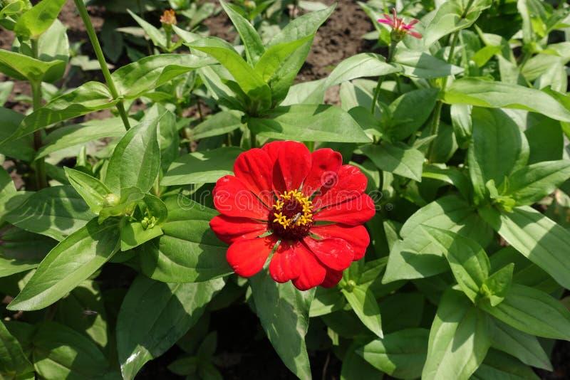 Jeden czerwony kwiat w leafage cynie fotografia stock
