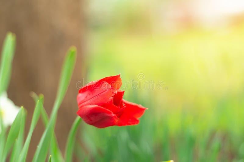 Jeden czerwony tulipan zaczynał otwierać płatki w ogródzie w wiosny słońcu Zielonej trawy t?o Creeting tło lub karta obraz royalty free