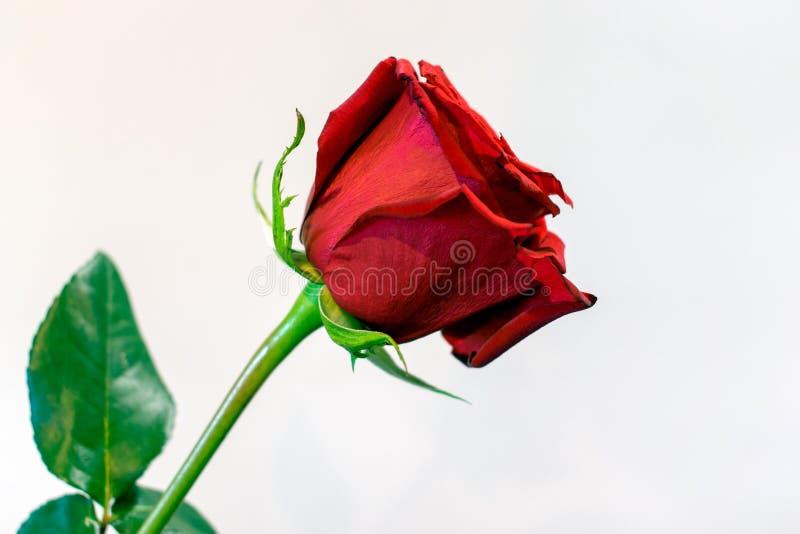 Jeden długa trzon czerwieni róża przeciw białemu tłu obrazy royalty free