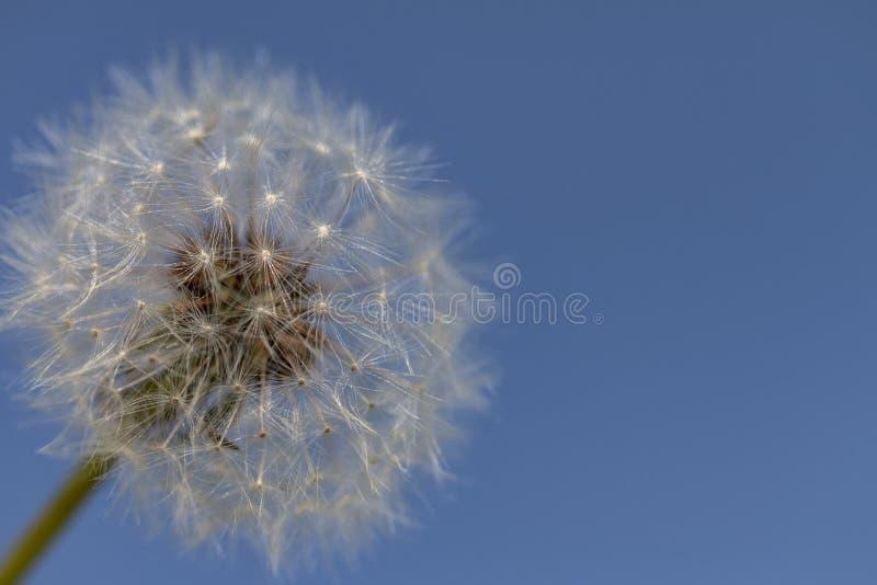 Jeden Dandelion przeciw niebieskiemu niebu - Pionowo zdjęcia royalty free