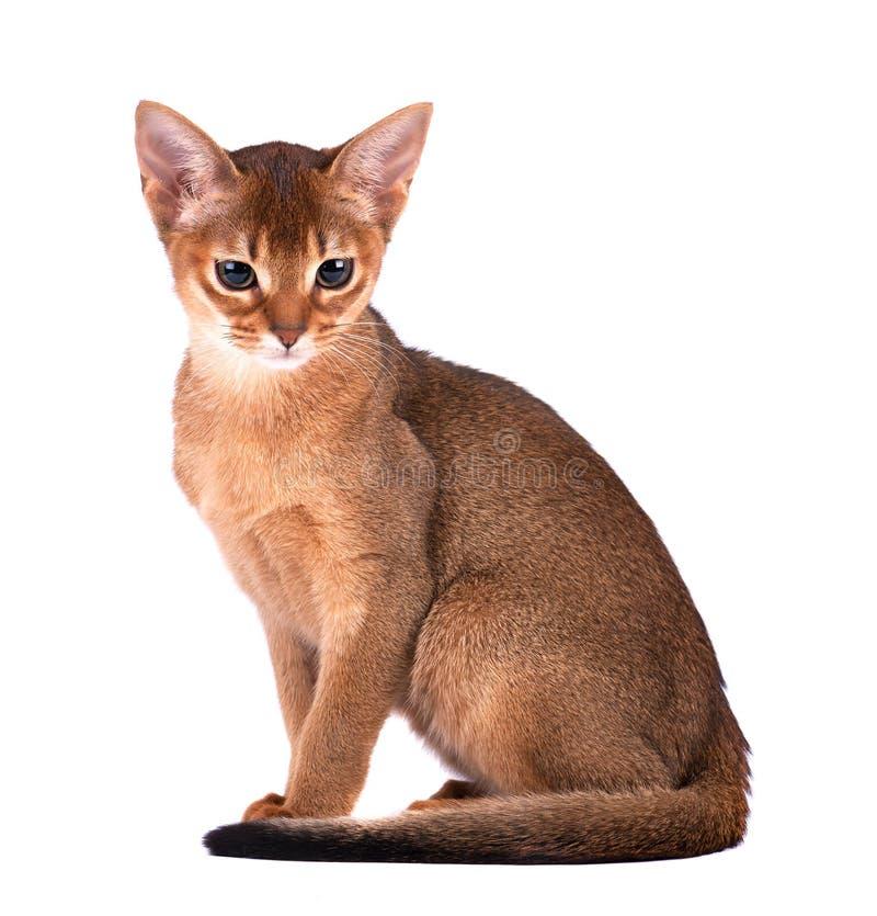 Jeden domowy kot Abisyński traken z kolorów żółtych oczami i czerwony krótkiego włosy obsiadanie na odosobnionym tle horyzontalny obraz royalty free