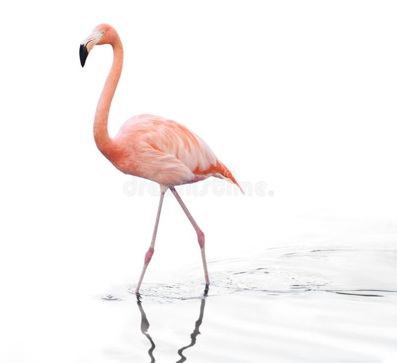 Jeden dorosłego flaminga różowy odprowadzenie na wodzie obraz royalty free