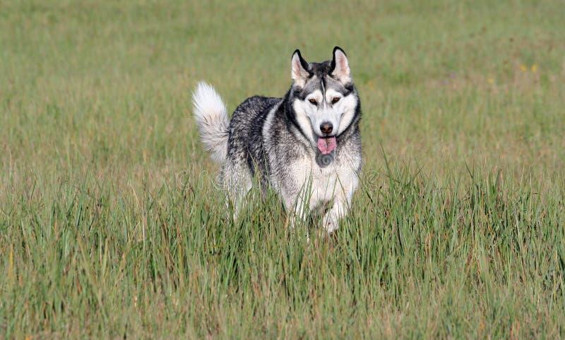Jeden dorosłego trakenu alaskiego malamute trakenu psi stojaki w polu obrazy royalty free