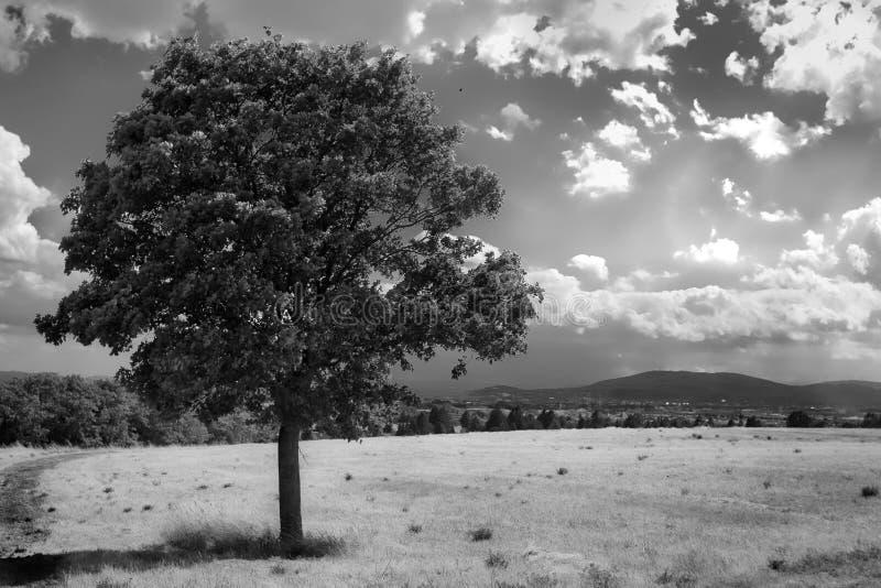 Jeden drzewo na hayfield b&w obraz royalty free