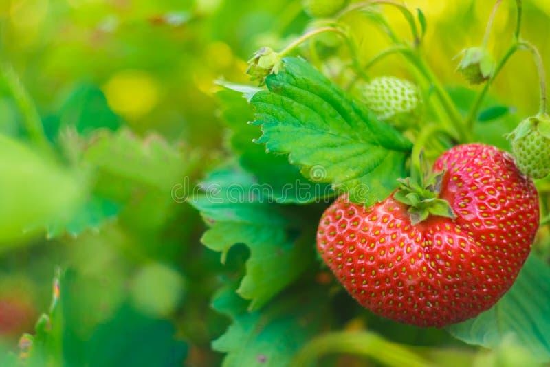 Jeden Duża truskawka Na Jej roślinie fotografia stock