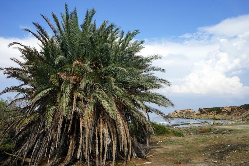 Jeden duży drzewko palmowe fotografia stock