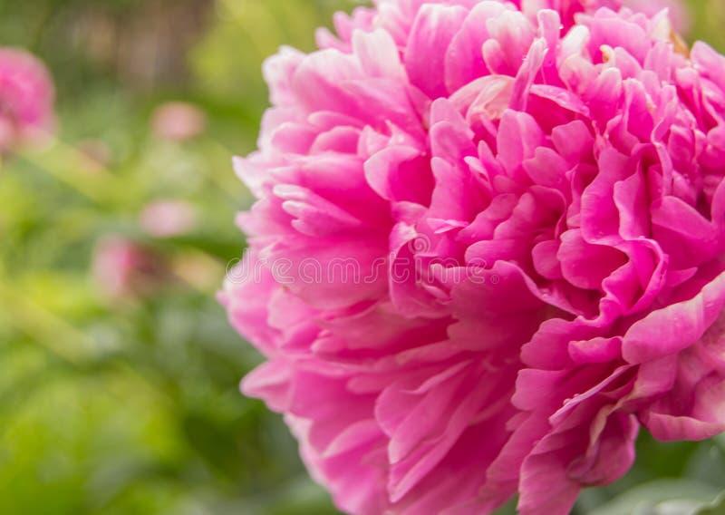 Jeden duży różowy peonia kwiat na w górę otwartego natury tła, zamazującego fotografia royalty free