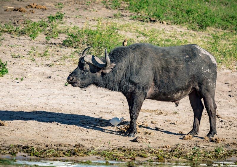 Jeden Duzi Pięć jest Afrykańskim Bawolim pozycją blisko rzecznego Chobe w Botswana zdjęcie royalty free