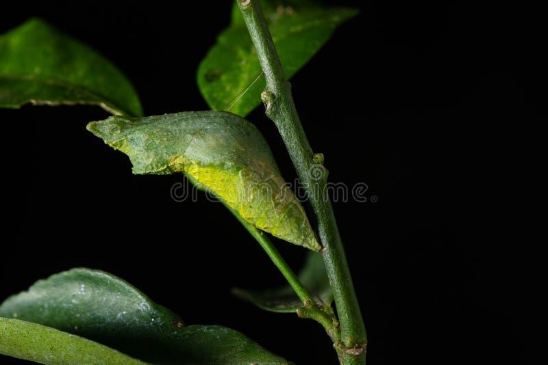 Jeden dzień stary wapna Swallowtail motyl podczas pupal sceny obraz stock