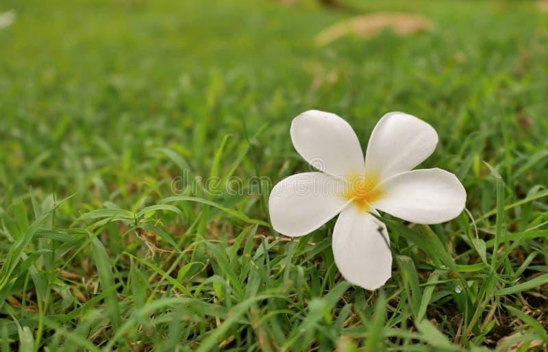 jeden frangipani kwiat na trawie zdjęcie royalty free