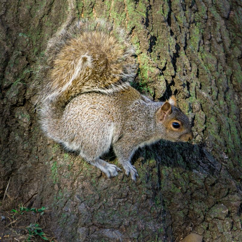 Jeden Głodna wiewiórka obraz stock