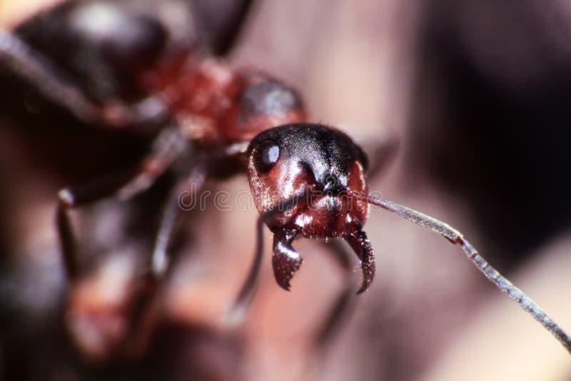 jeden insekt mrówka portret obrazy royalty free