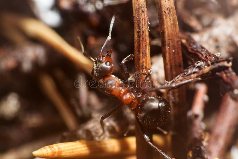 jeden insekt mrówka portret zdjęcie royalty free