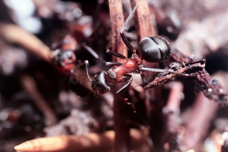jeden insekt mrówka portret zdjęcia stock