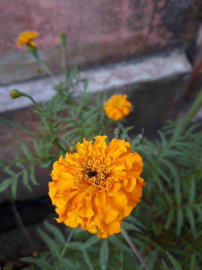 Jeden insekt wśrodku nagietka kwiatu obrazy royalty free