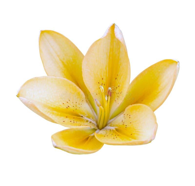 Jeden kolor żółty odizolowywająca kwiat leluja na białym tle fotografia stock