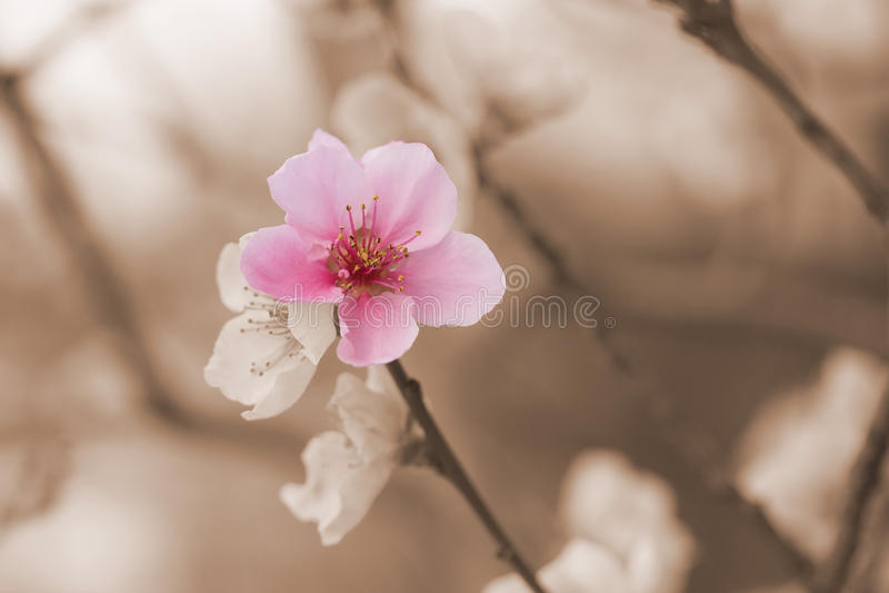 Jeden kolor nektaryny kwiatu kwitnienie zdjęcia stock