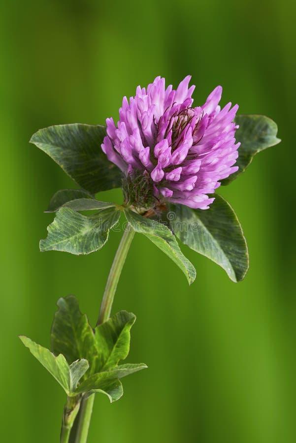 Jeden koniczynowy kwiat obraz royalty free