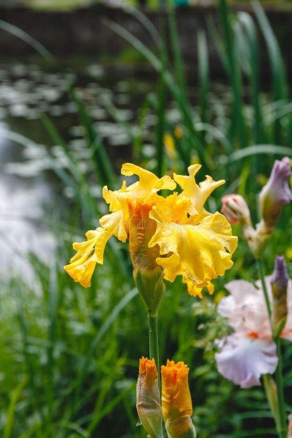 jeden kwiatu cockerel kolor żółty w ogródzie obrazy stock