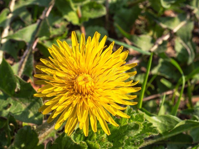 Jeden kwitnący żółty dandelion r na otwartej przestrzeni przy zamkniętym pasmem obrazy royalty free