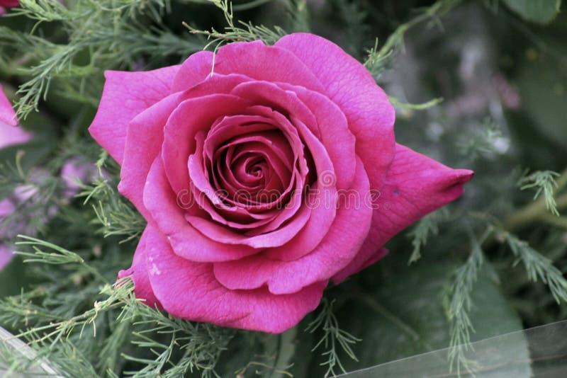 Jeden kwitnienie różowy wzrastał z liśćmi zdjęcia royalty free