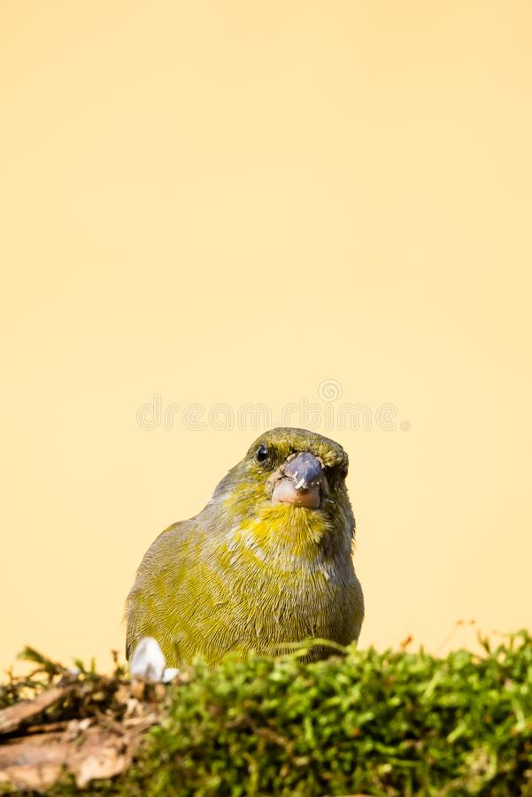 Jeden męski greenfinch ptak za gałąź zakrywającą mech z brudnym belfrem zdjęcie royalty free