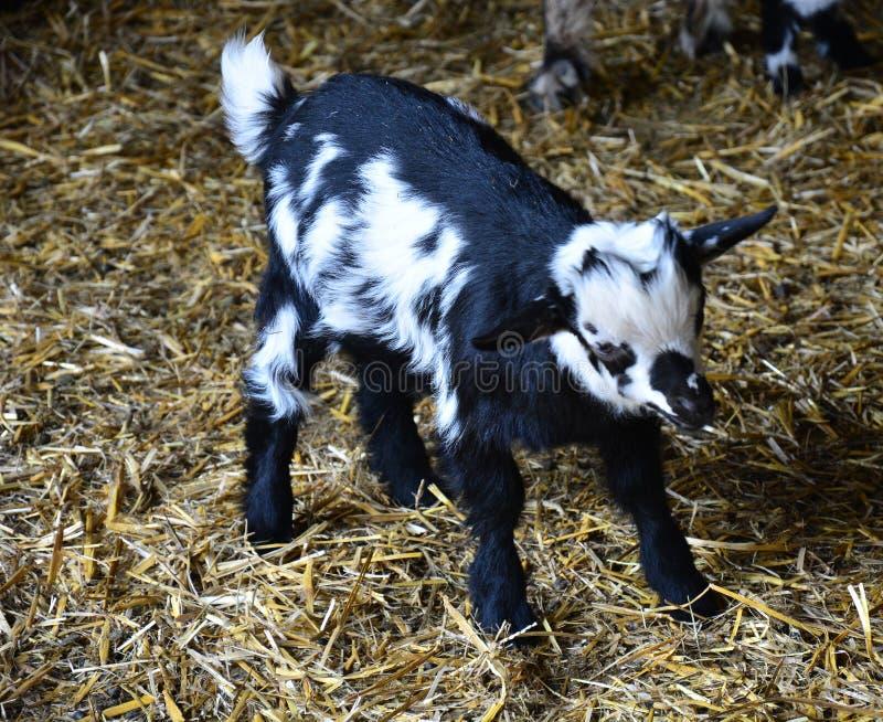 Jeden młody czarny i biały koźlątko jest w zoo zdjęcia stock