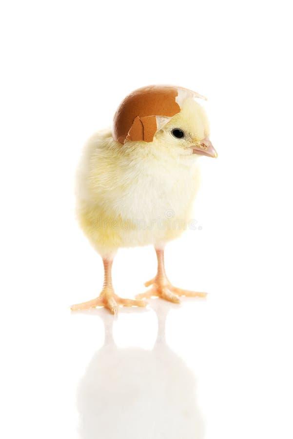 Jeden małego koloru żółtego oddzielony kurczak. zdjęcia royalty free