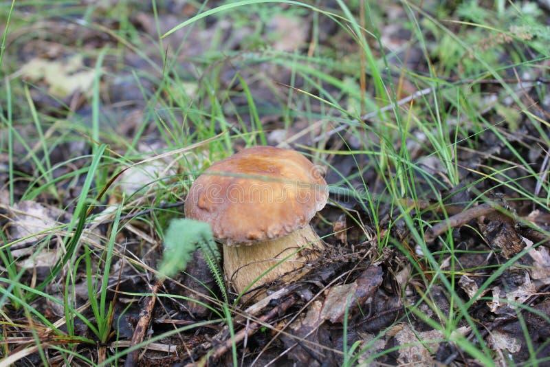 Jeden mały porcini w lato lesie zdjęcia royalty free